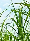 Switch grass Royalty Free Stock Photography