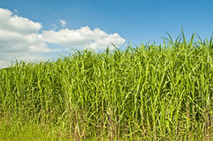 Switch grass Stock Photo