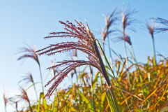 Switch grass Royalty Free Stock Photos