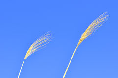 Switch grass with flower Stock Photography