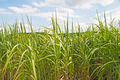 Switchgrass Royalty Free Stock Photography