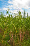 Switchgrass imagens de stock royalty free