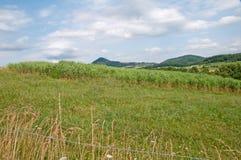 switchgrass Στοκ Εικόνες