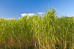 Switchgrass Royalty Free Stock Photos