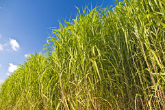 Switchgrass Royalty Free Stock Images