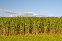switchgrass Στοκ Φωτογραφία