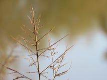 Switchgrass detail, Native grass prairie, Oklahoma, Royalty Free Stock Photography
