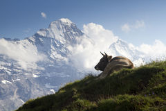 Switserland. A typical Swiss view: a cow and snowy mountaintops Royalty Free Stock Images