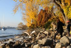 Switzerland: autumn colors at Lake Zürich in Seefeld. Switzerland: people enjoying autumn colors at Lake Zürich in Seefeld and obeying the swans royalty free stock photo
