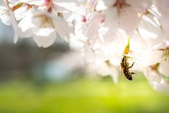 Switzerland Basel, honey bee at work collecting honey out of a cherry blossom. Bee is almost totally inside of the flower Stock Photo