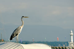 Switzerland Geneva, A heron monitors fishing boats. Geneva Swirtzerland Lake Lemen, A heron monitors fishing boats royalty free stock photography