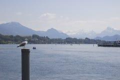 switzerland Gull su un palo di attracco nel lago Lucerna con la vista delle alpi svizzere nella città medievale di Lucerna, dentr Fotografie Stock Libere da Diritti