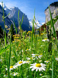 Switzerland Landscape. Daisy flowers against the alpine rocks. Switzerland Royalty Free Stock Image