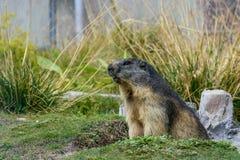 Switzerland marmot royalty free stock images