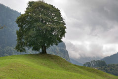 switzerland tree Arkivbild