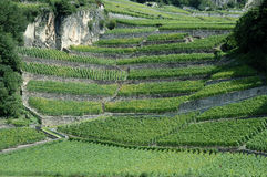 Switzerland - Vineyard Stock Image
