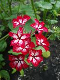 Swizzle do paniculata do flox do paniculata do flox Variedade diminuta com cores originais As flores muito grandes empalidecem a  fotografia de stock royalty free