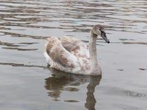 swmiming在河的幼小灰色天鹅 库存图片