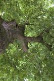 Swobody drzewo Zdjęcie Royalty Free