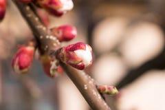 Swollen bud apricot tree close up macro.  stock image