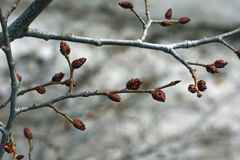 The swollen buds on a tree. Stock Image