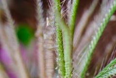 Swollen finger grass Stock Photo