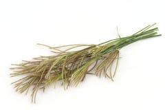 Swollen finger grass (Chloris barbata) Stock Photo