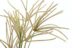 Swollen finger grass (Chloris barbata) Royalty Free Stock Images