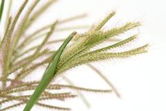 Swollen finger grass (Chloris barbata) Stock Photos