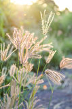 Swollen finger grass Royalty Free Stock Photography