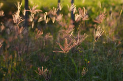 Swollen finger grass Royalty Free Stock Photos