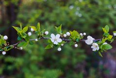 Swollen flower buds together with snow-white cherry-plum flowers against the background of spring greenery royalty free stock image