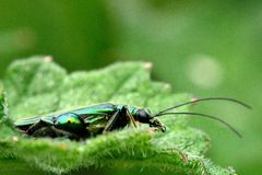 Swollen-thighed beetle (Oedemera nobilis) profile Stock Images