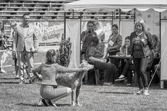 SWoman som framlägger hunden till domaren Arkivbilder