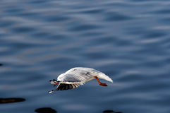 Swoop - flying gull. Swoop - image of the flying gull Royalty Free Stock Photo