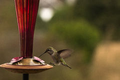 Swoop Landing. Anna's Hummingbird approaches a hummingbird feeder to have a drink of nectar Royalty Free Stock Photo