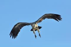 Swooping dell'avvoltoio Fotografie Stock