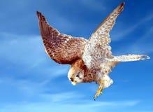 Swooping giù il falco Fotografie Stock