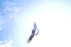 Swooping magpie against sun. A magpie swoops in response to a perceived threat to it's nest Royalty Free Stock Images