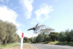 Swooping magpie. Kangaroo Island, Australia - October 5, 2015: During breeding season which runs from August to October, male magpies aggressively swoop people Stock Image
