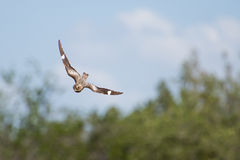 Swooping Nighthawk Royalty Free Stock Image