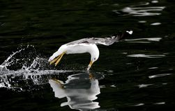 Swoosh. A seagull swooshing down in the water to get a snack Stock Images
