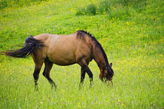 With A Swoosh Of The Tail. Rural scene of a brown horse in a field of buttercups Stock Images