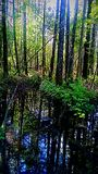 Swop. Wetlands in the woods Royalty Free Stock Image