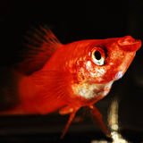 Sword-bearer fish Stock Images