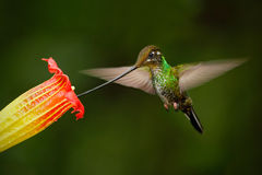 Sword-billed hummingbird, Ensifera ensifera, fling next to beautiful orange flover, bird with longest bill, in the nature forest h Royalty Free Stock Photos