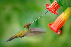Sword-billed hummingbird, Ensifera ensifera, fly next to beautiful orange flower,bird with longest bill, in nature forest habitat, Royalty Free Stock Photos