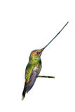 Sword-Billed Hummingbird Royalty Free Stock Photo