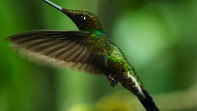 The sword-billed hummingbird is a neotropical species from Ecuador, sword-billed hummingbird. He is soaring and drinking the royalty free stock image