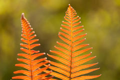 Sword fern Stock Photography